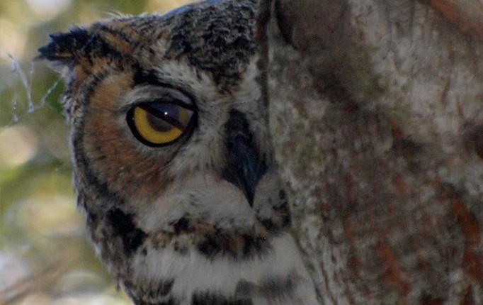 Great Horned Owl, El Dorado Nature Center, ©Kim Moore
