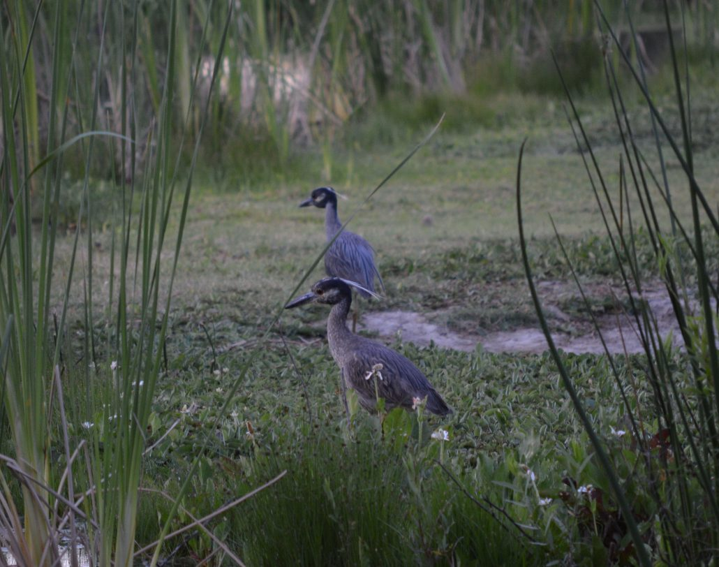 Yellow-crowned Night-Herons, El Dorado East Regional Park, Area II