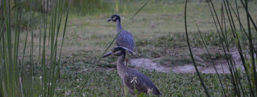 Yellow-crowned Night-Herons, El Dorado East Regional Park, Area II