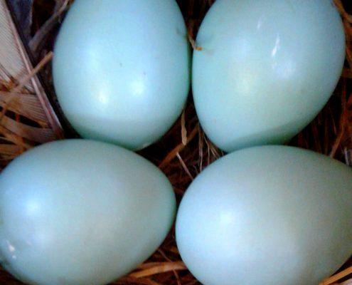 Western Bluebird Eggs