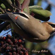 Cedar Waxwing by Jerry Millett