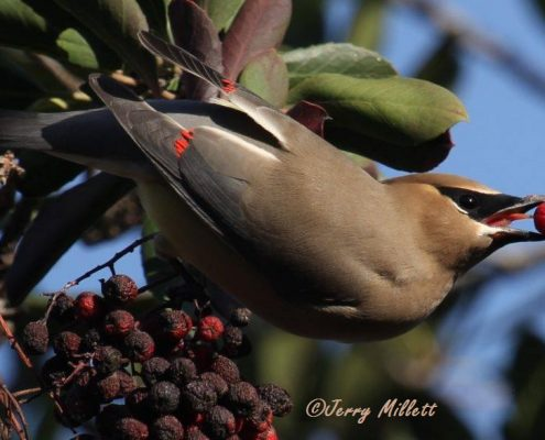 Cedar Waxwing by Jerry Millett