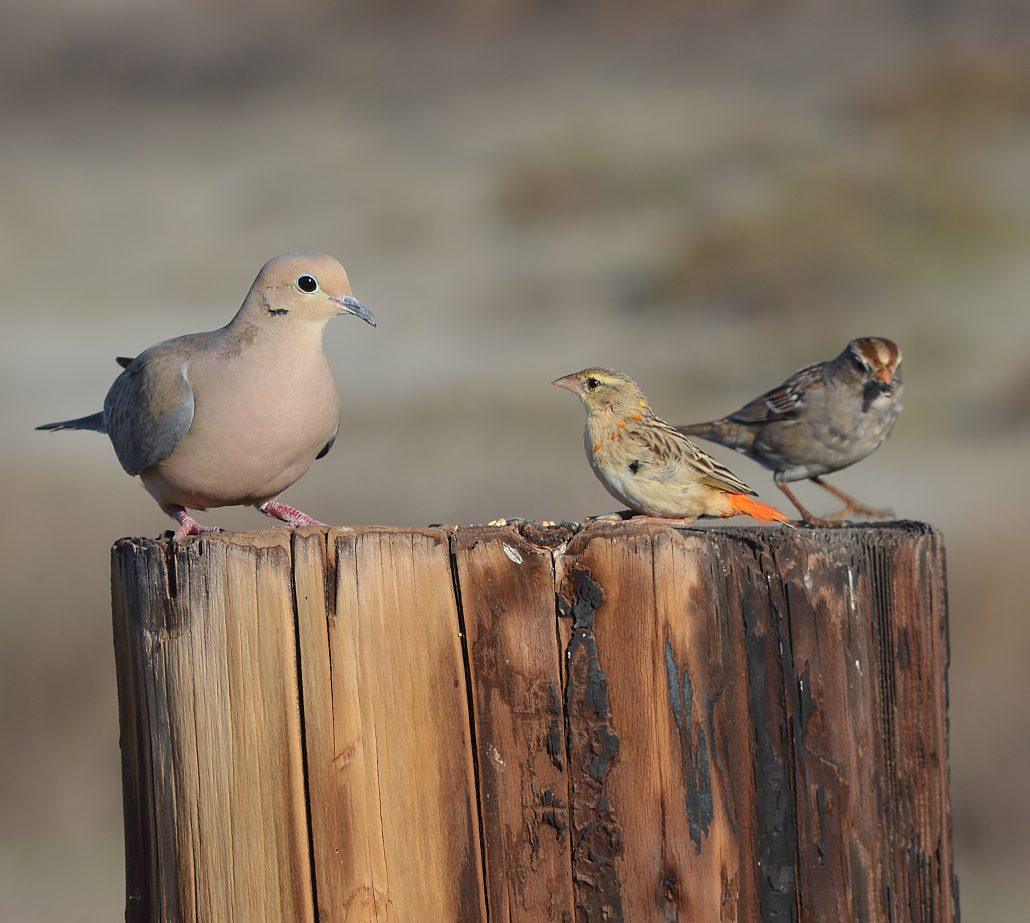 Mourning Dove, young male Northern Red Bishop, juvenile White-crowned Sparrow, Gum Grove Park