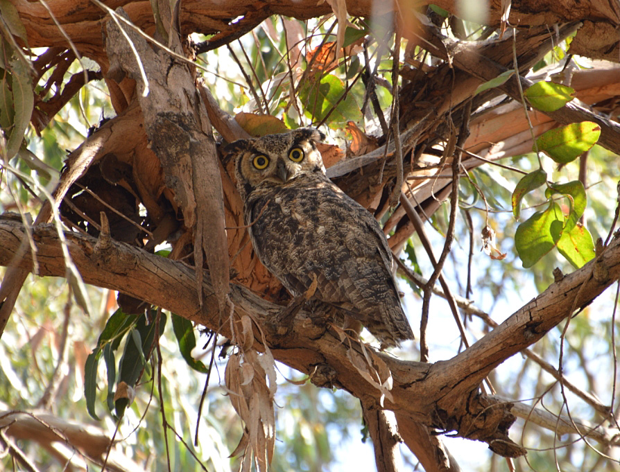Great Horned Owl, Gum Grove Park