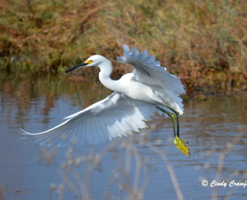 Snowy Egret, Los Cerritos Wetlands