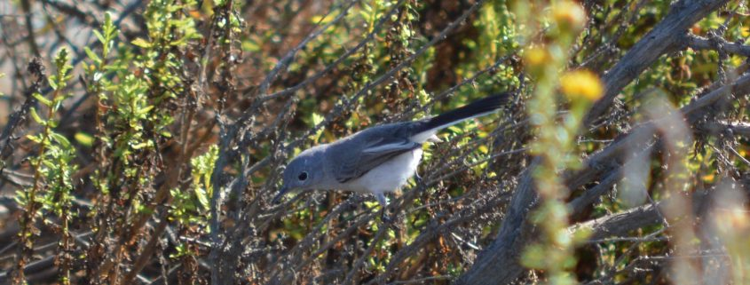 Blue-gray Gnatcatcher, Los Cerritos Wetlands