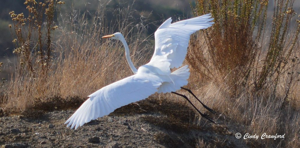 Great Egret, Los Cerritos Wetlands