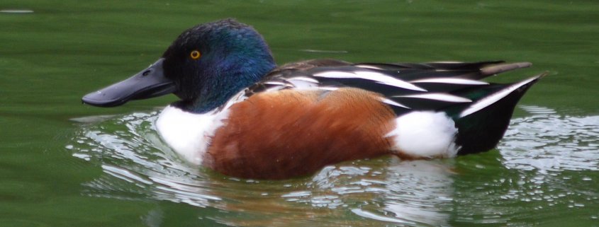 Northern Shoveler, El Dorado Park Duck Pond