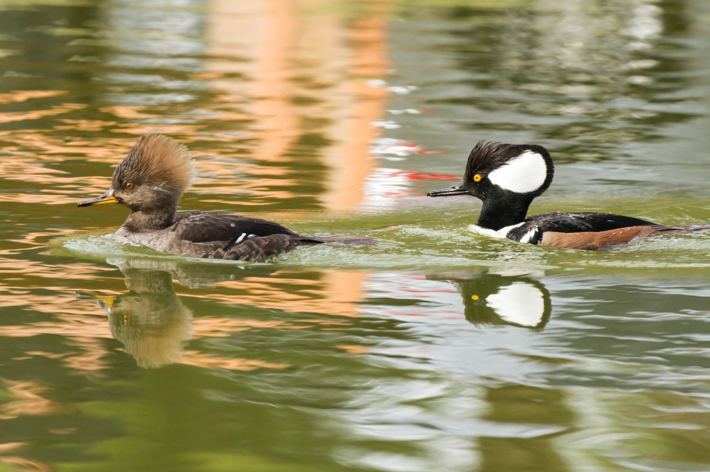 Hooded Mergansers, El Dorado East Regional Park, Long Beach CA
