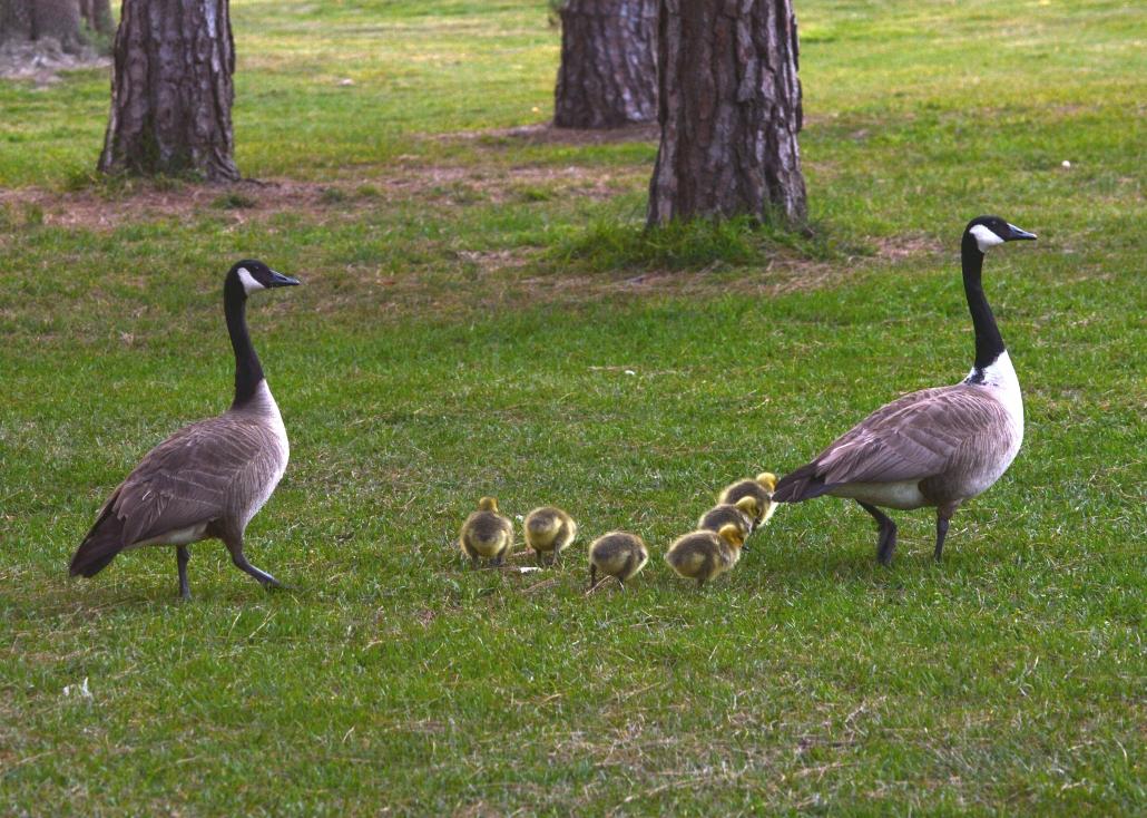 Canada Goose family, El Dorado East Regional Park Area II, Long Beach CA
