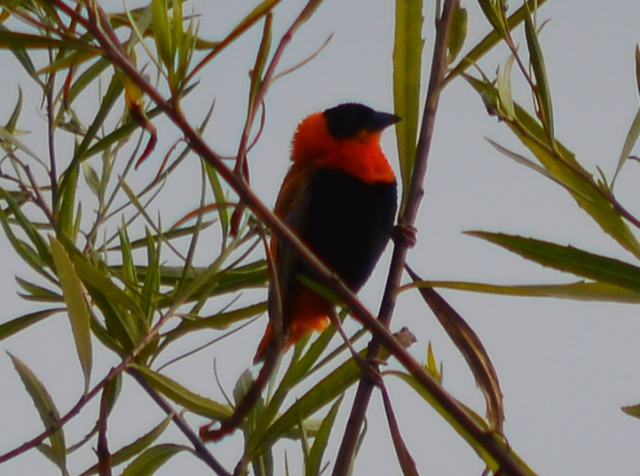 Northern Red Bishop (male, non-native), Gum Grove Park, Seal Beach CA