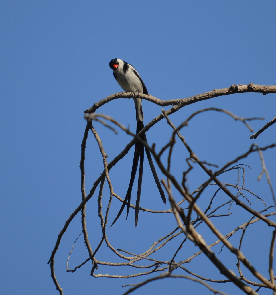Pin-tailed Whydah (male, non-native), El Dorado East Regional Park Area II, Long Beach CA