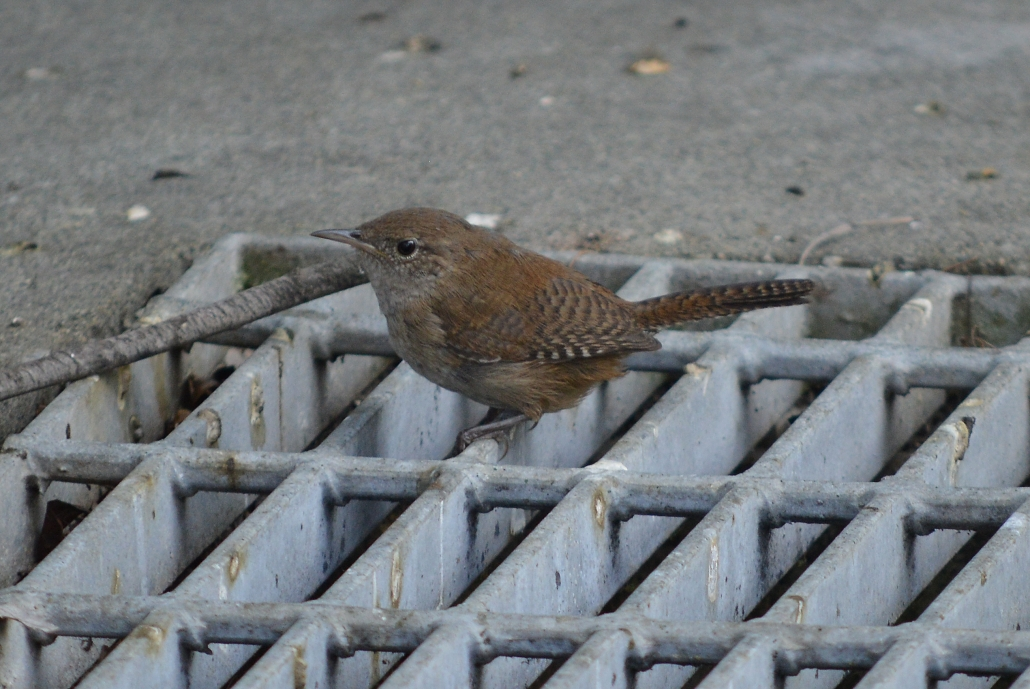 House Wren, El Dorado East Regional Park Area II, Long Beach CA