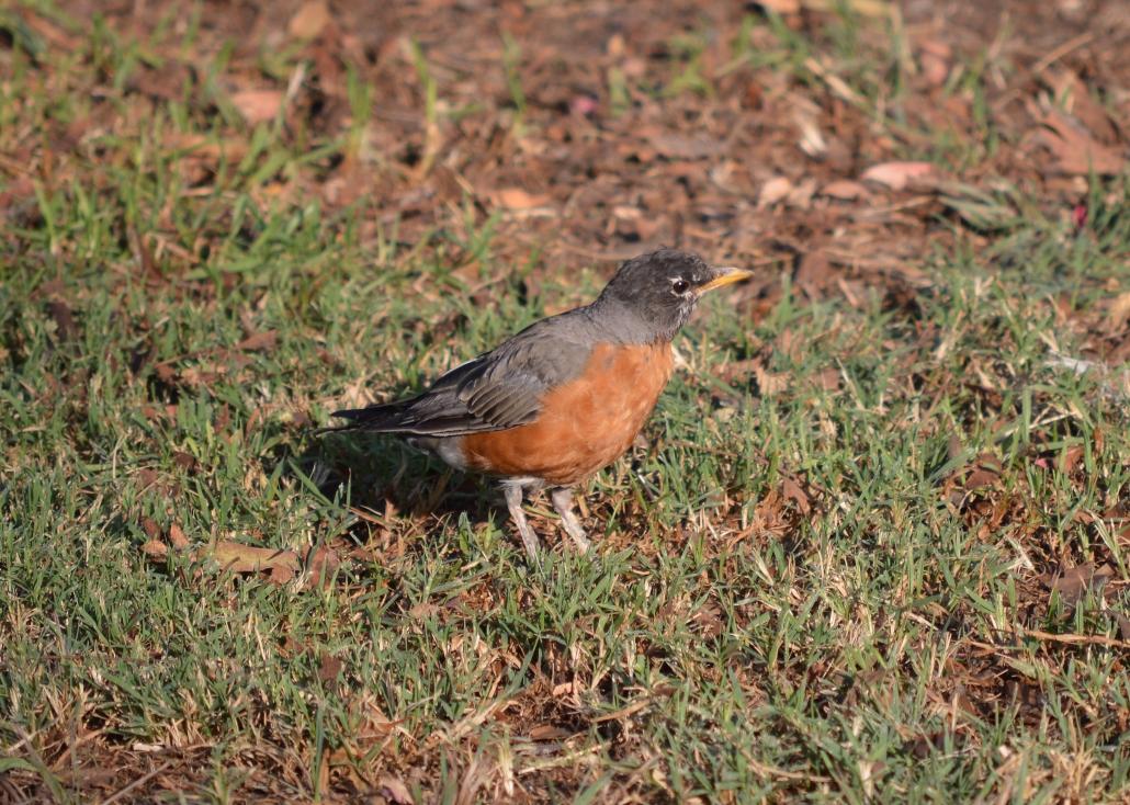 American Robin, El Dorado East Regional Park Area II, Long Beach CA