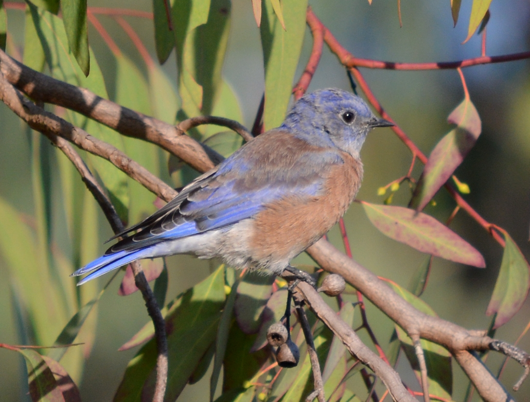 Western Bluebird, El Dorado East Regional Park Area II, Long Beach CA