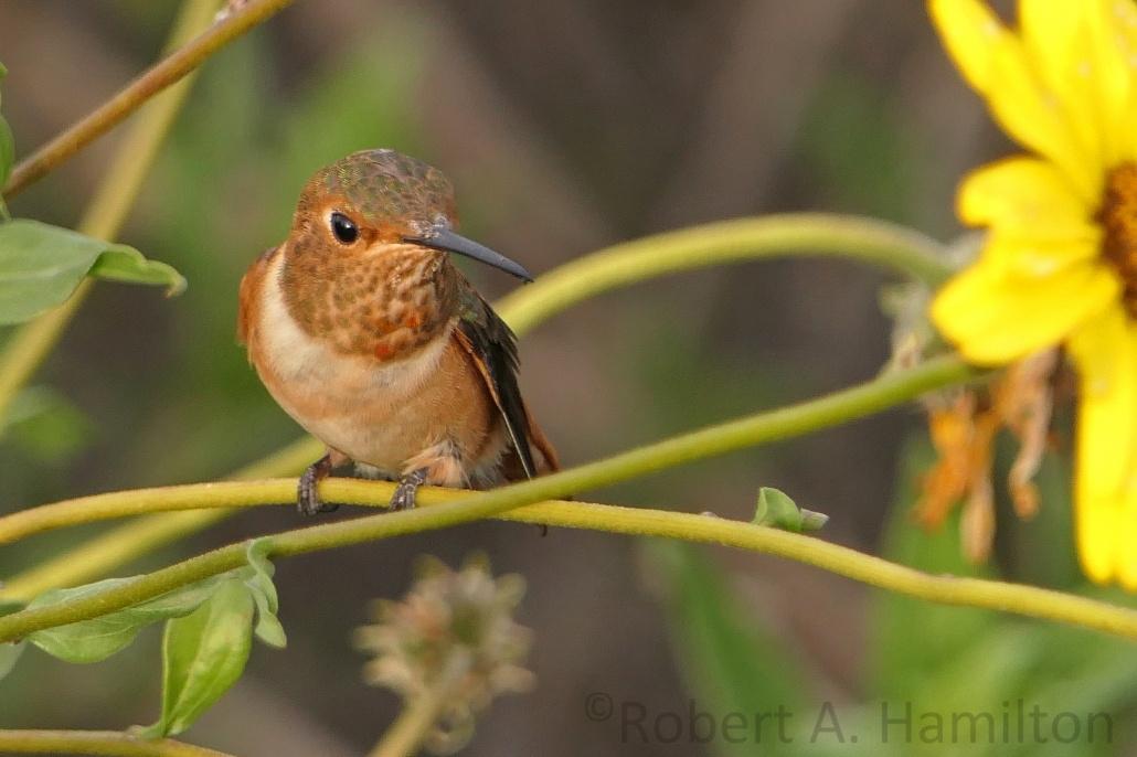 Allen's Hummingbird (female), Colorado Lagoon