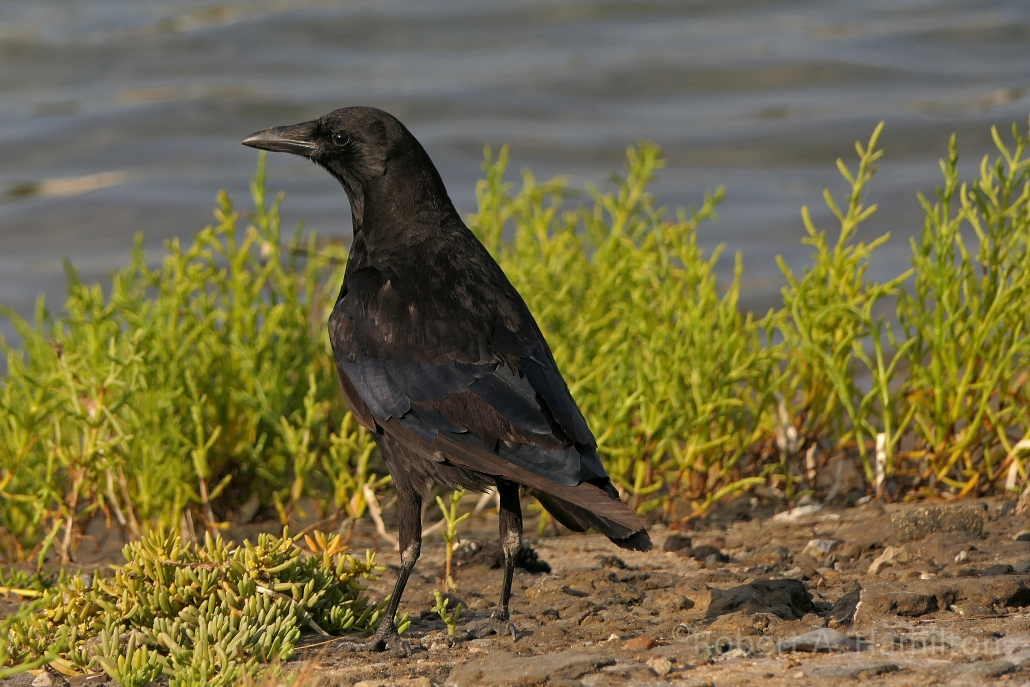 American Crow, Colorado Lagoon