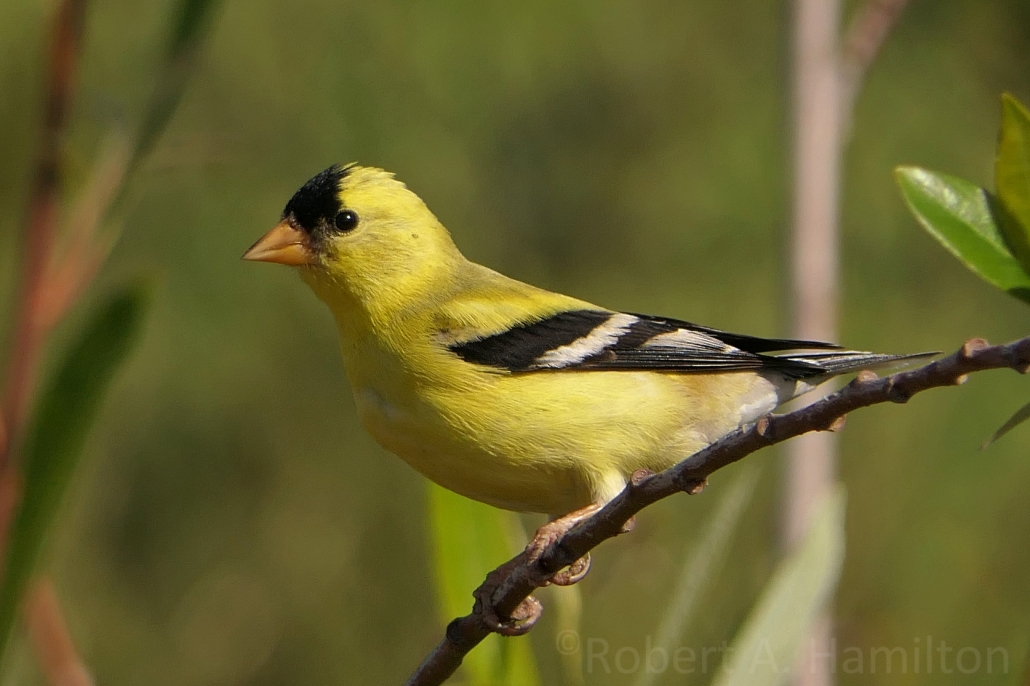 American Goldfinch (male), Colorado Lagoon