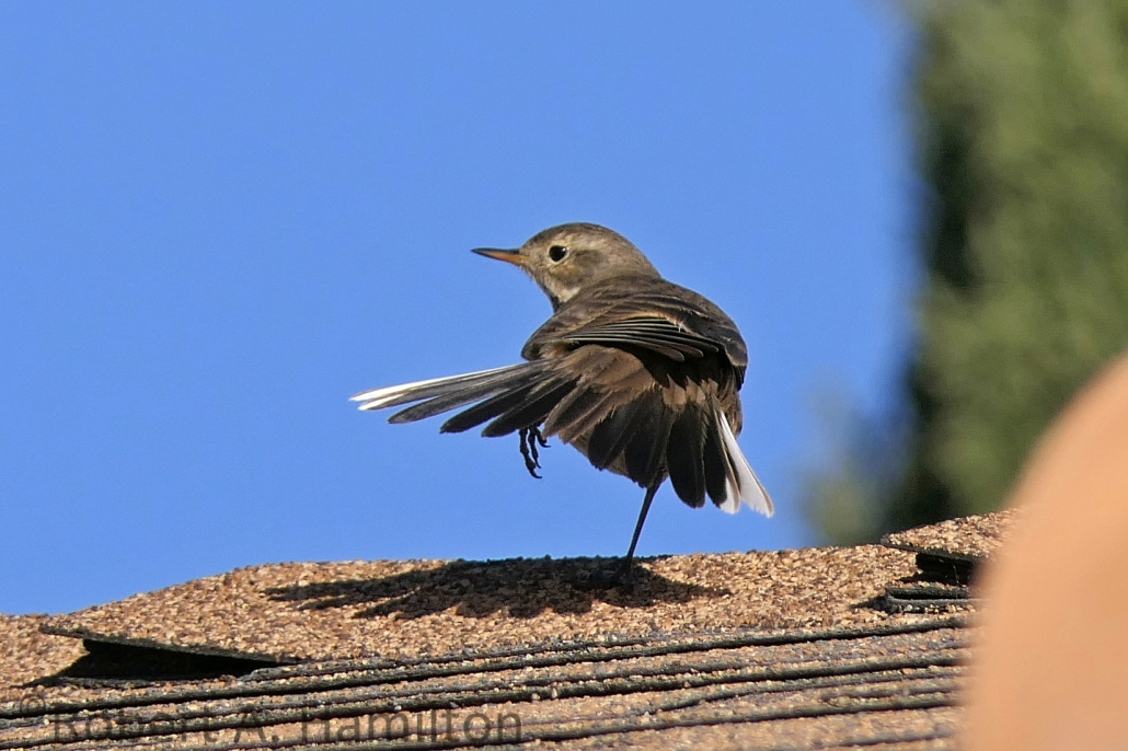 American Pipit, Monrovia Ave, Long Beach CA