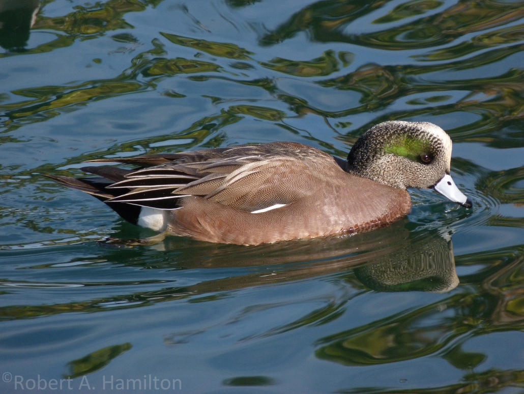 American Wigeon (male), Colorado Lagoon