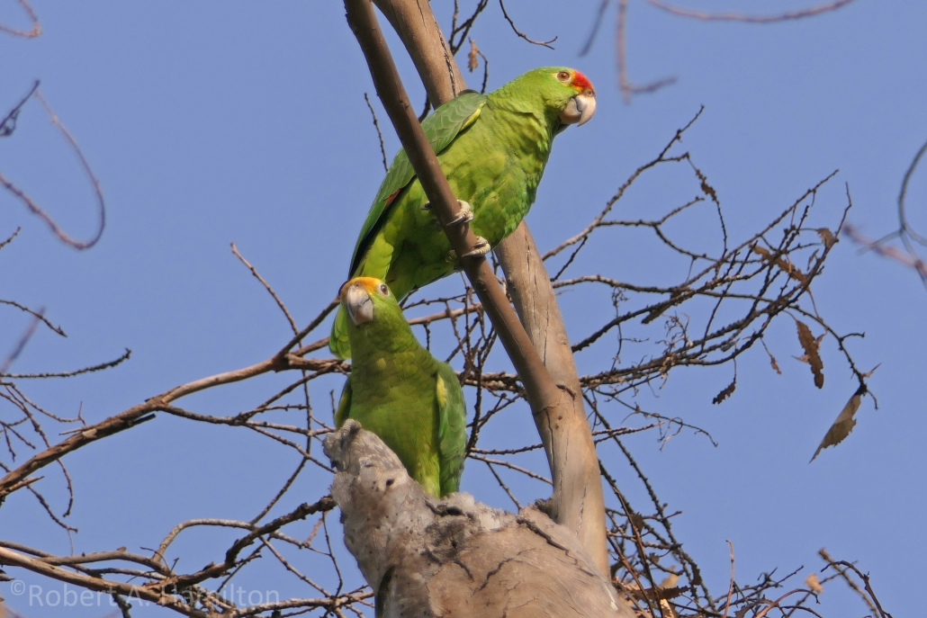 Amazona hybrid parrots, Recreation Park, Long Beach CA