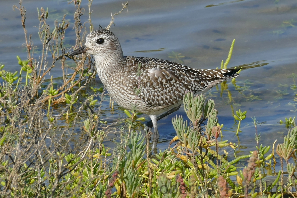 Black-bellied Plover, Colorado Lagoon