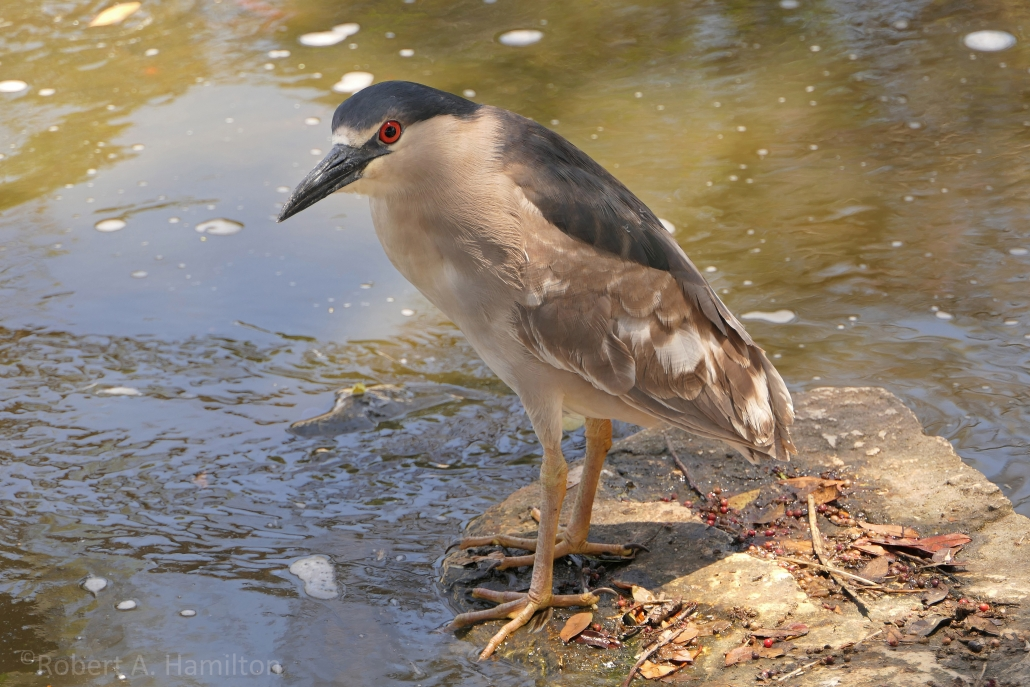 Black-crowned Night-Heron (adult), Scherer Park