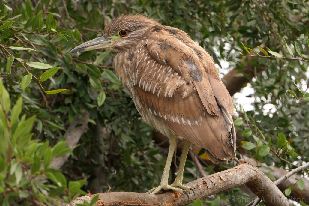 Black-crowned Night-Heron (juvenile), Scherer Park