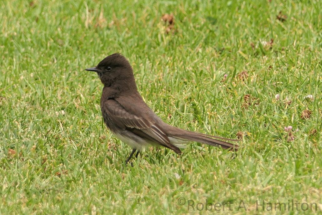 Black Phoebe (adult), Colorado Lagoon, Long Beach CA