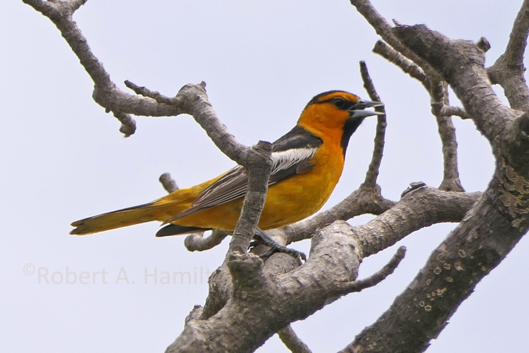 Bullock's Oriole (male), Colorado Lagoon, Long Beach CA