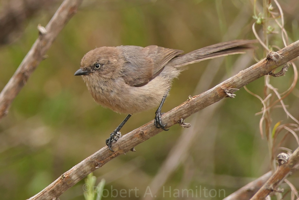 Bushtit (female, note the light eyes), Colorado Lagoon, Long Beach CA