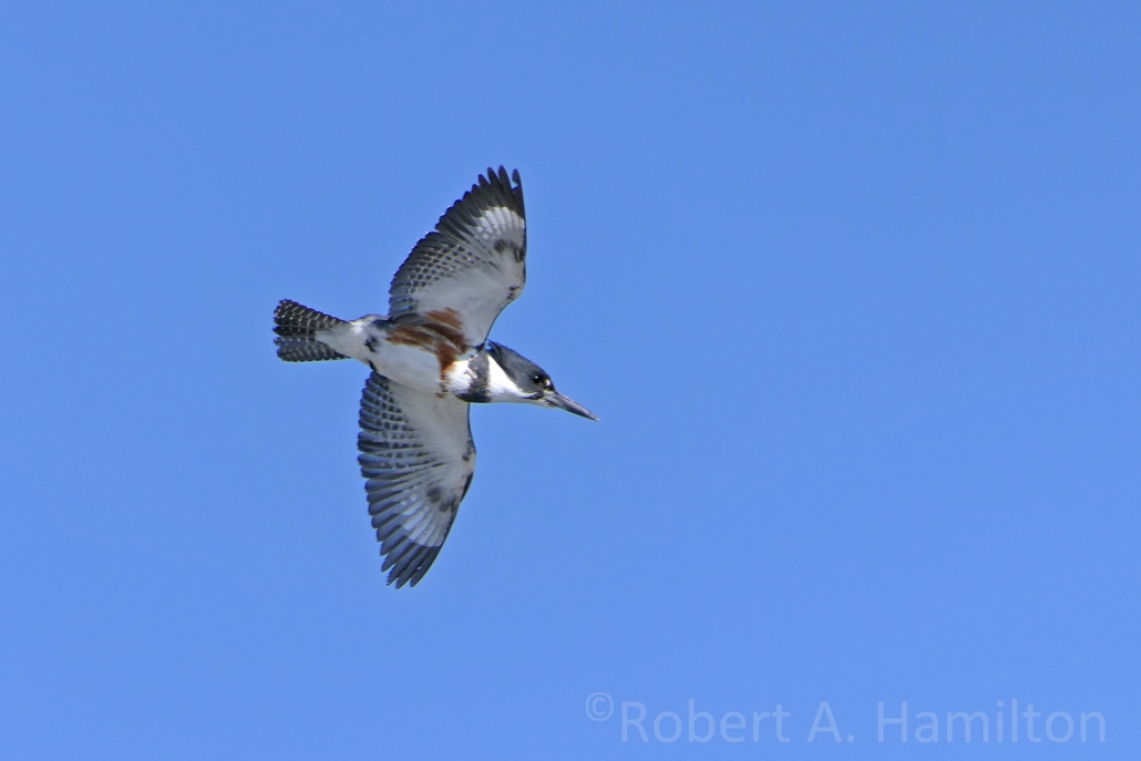 Belted Kingfisher (female), Alamitos Bay