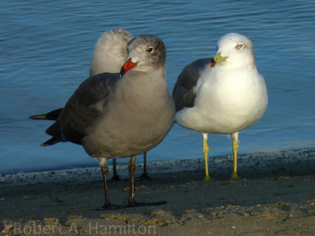 Black-tailed Gull, Belmont Shores