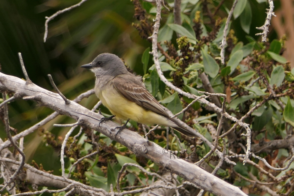 Cassin's Kingbird, Colorado Lagoon, Long Beach CA
