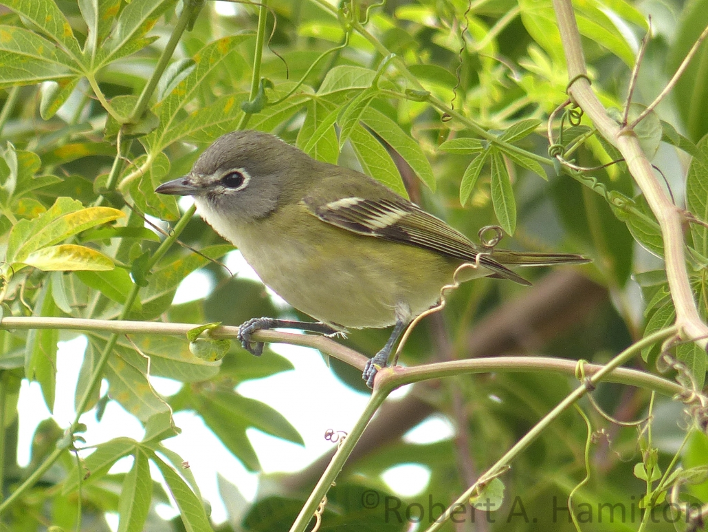 Cassin's Vireo, West San Gabriel River Trail