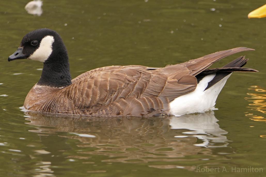 Cackling Goose, Scherer Park, Long Beach CA