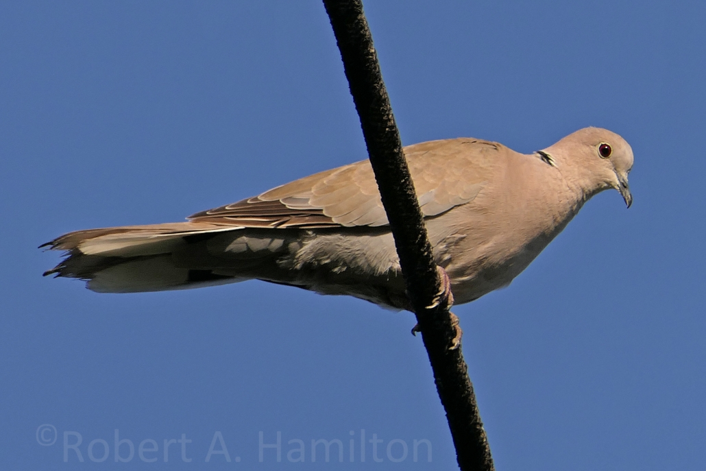 Eurasian Collared-Dove (non-native), Colorado Lagoon, Long Beach CA