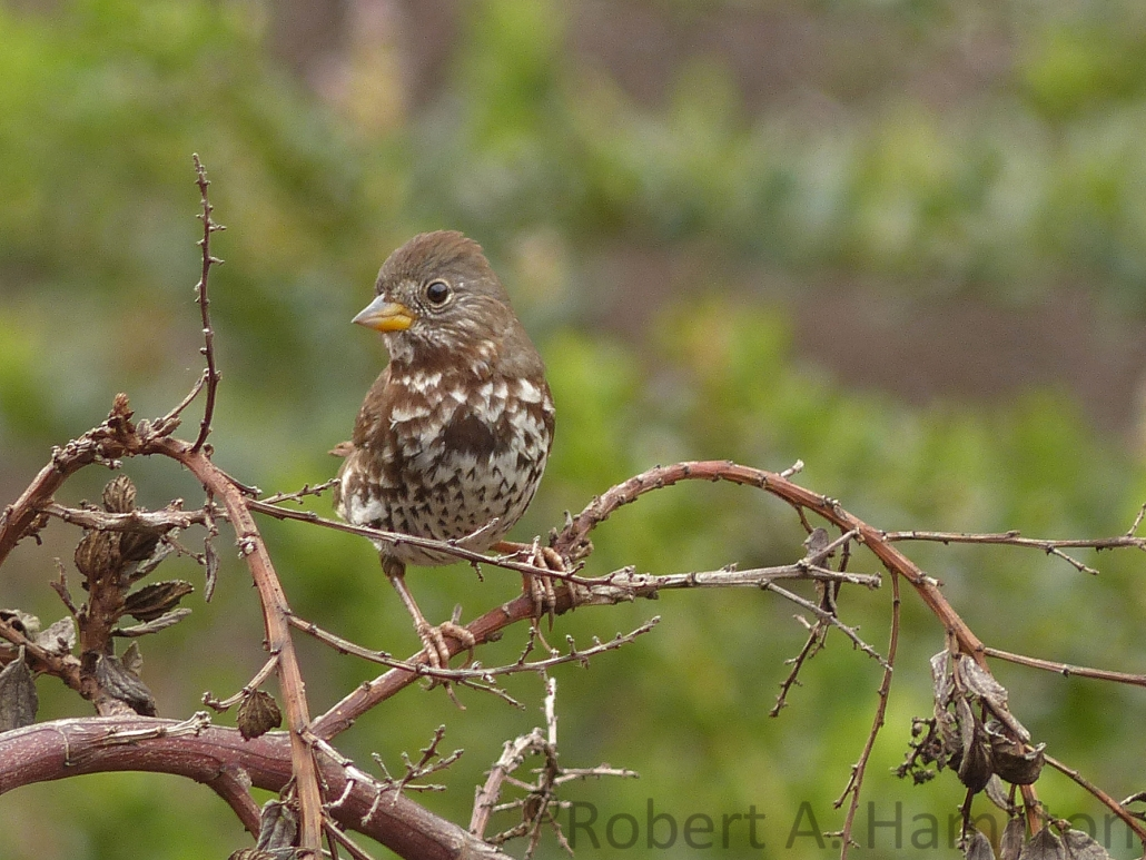 Fox Sparrow (Sooty), West San Gabriel River Trail