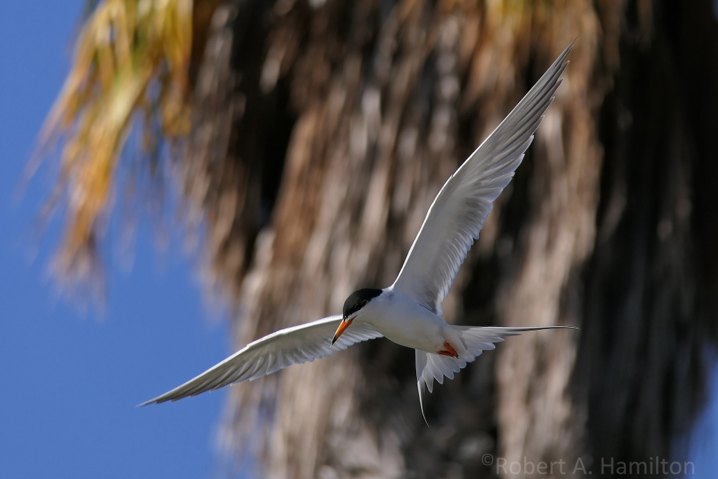 Forster's Tern (adult), Colorado Lagoon, Long Beach CA