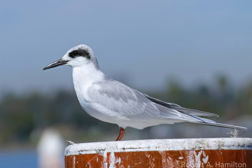 Forster's Tern, Alamitos Bay, Long Beach CA