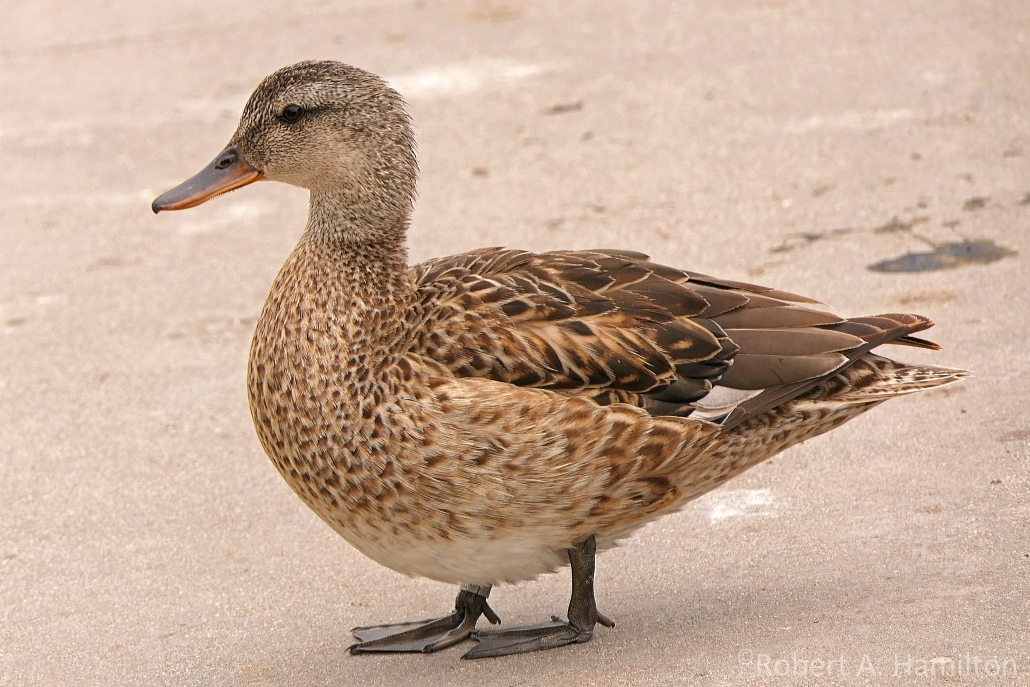 Gadwall (female), Scherer Park, Long Beach CA