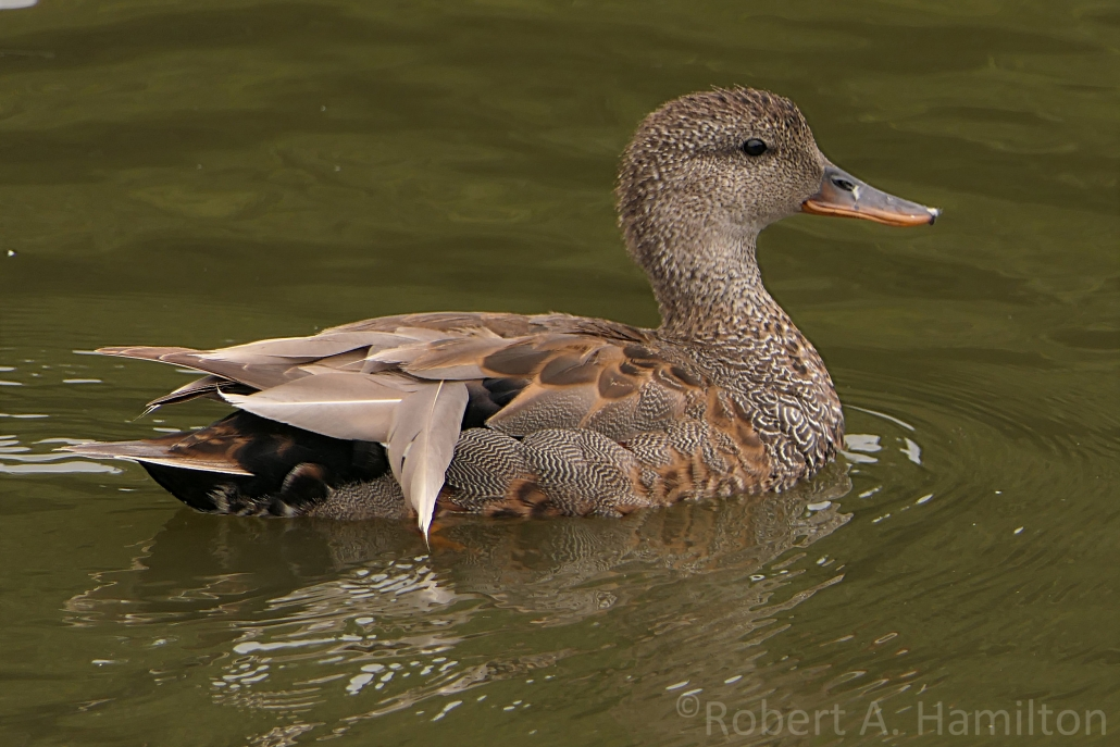 Gadwall (male), Scherer Park, Long Beach CA