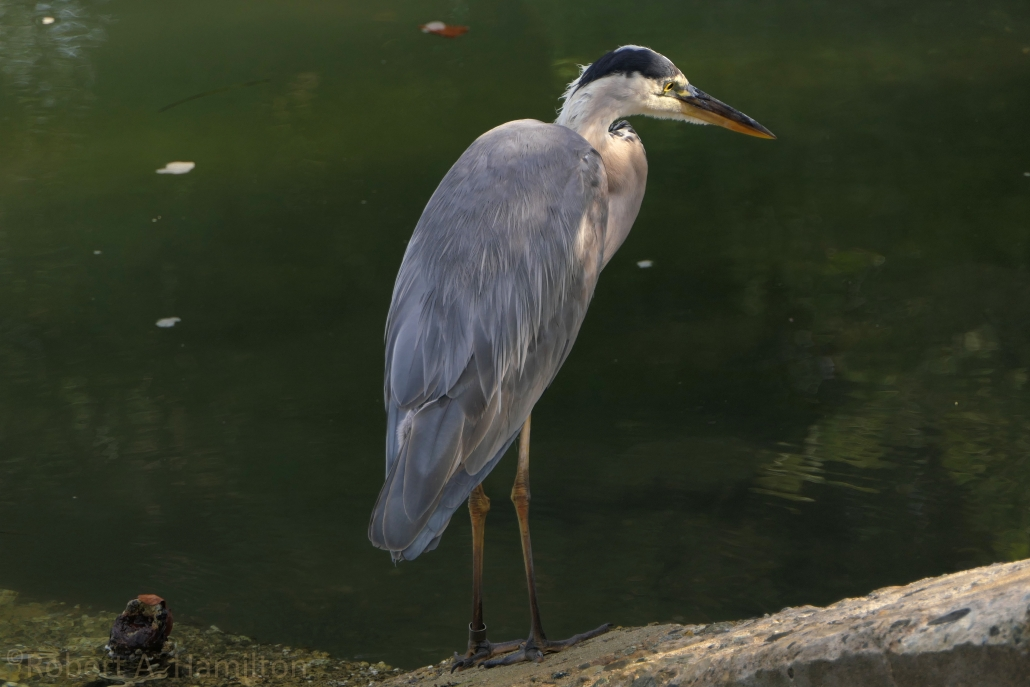 Great Blue Heron (juvenile), Colorado Lagoon, Long Beach CA