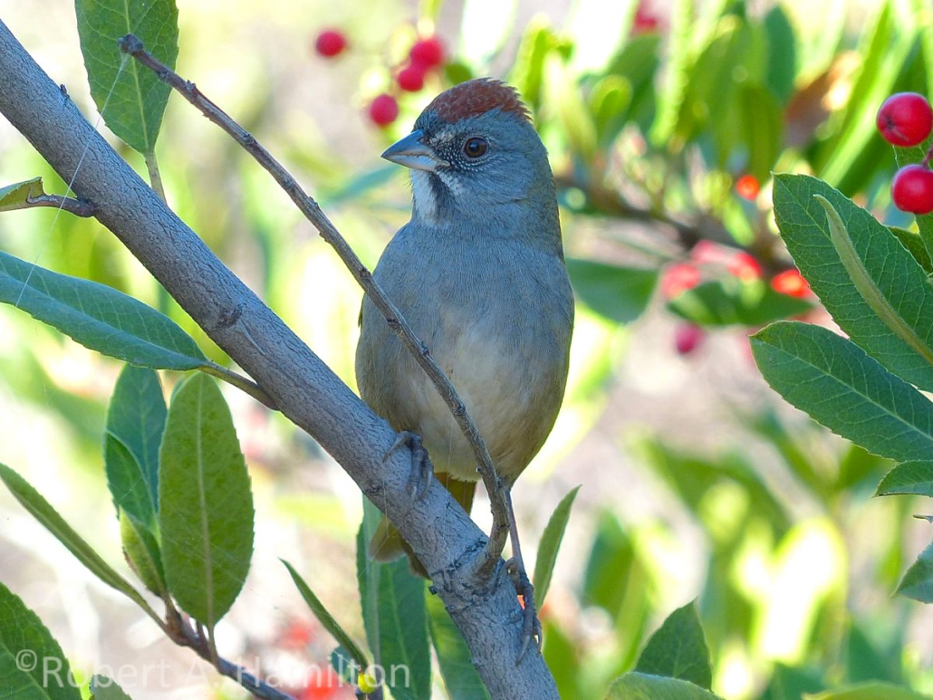 Green-tailed Towhee, San Gabriel River, Long Beach CA