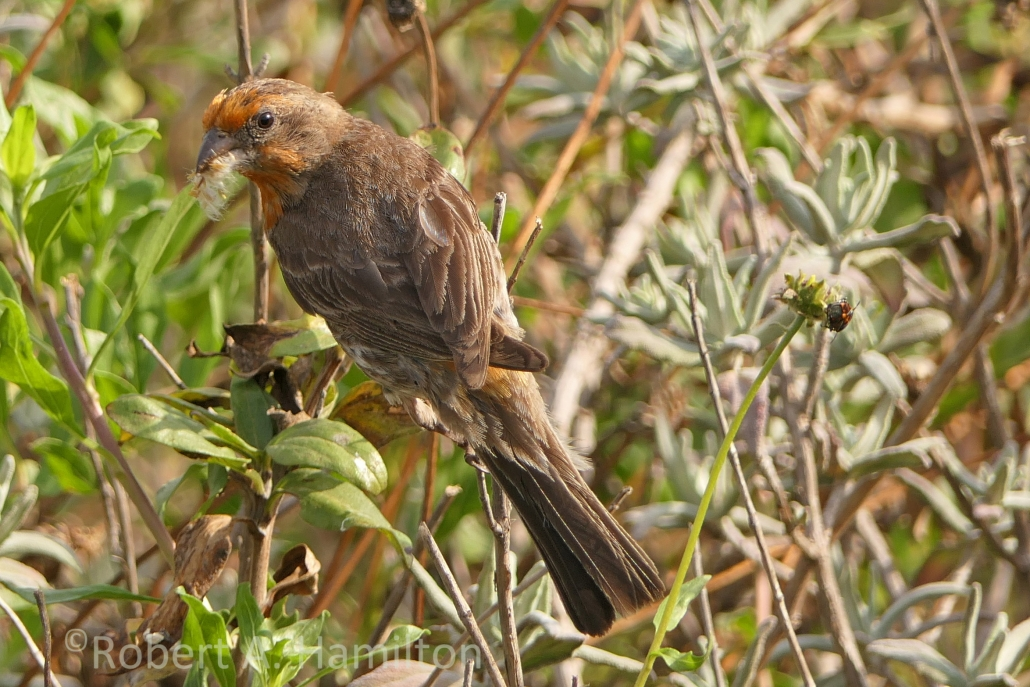 House Finch (adult male), Colorado Lagoon, Long Beach CA