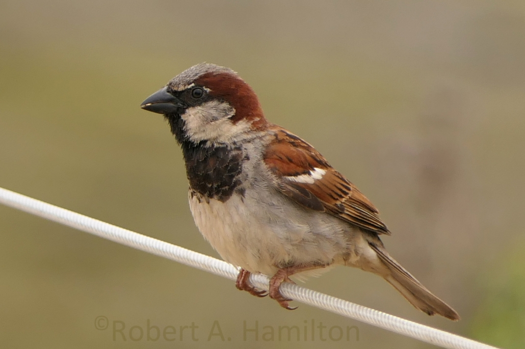 House Sparrow (male, non-native), Colorado Lagoon, Long Beach CA