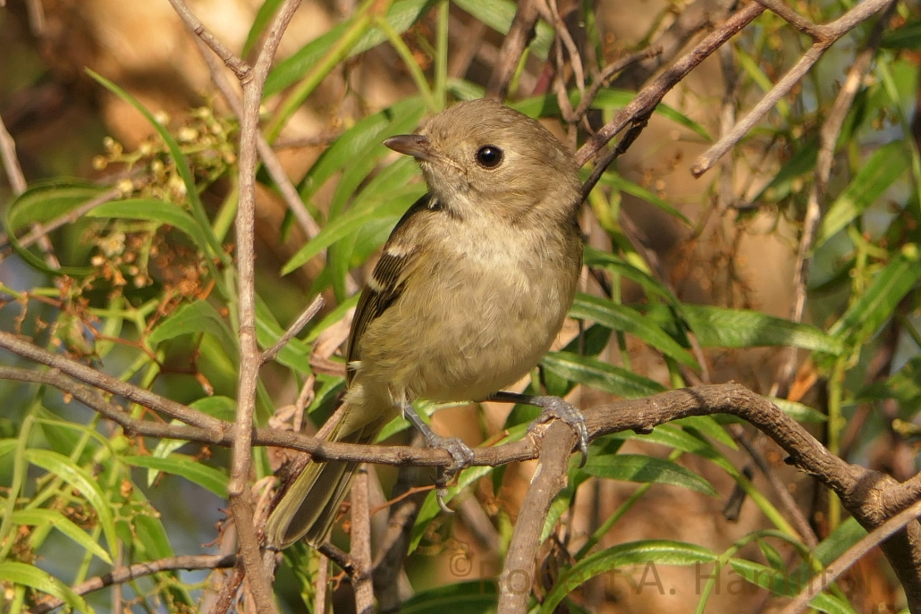Hutton's Vireo (juvenile), Colorado Lagoon, Long Beach CA