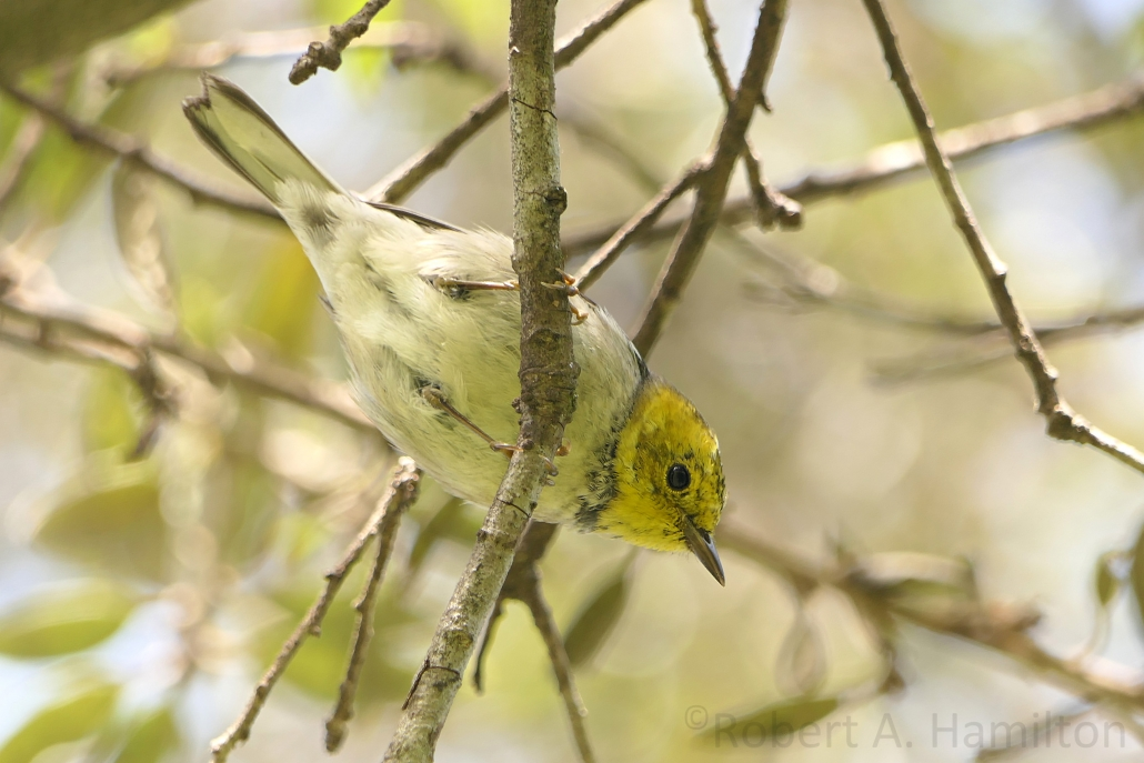 Hermit Warbler (female), Recreation Park, Long Beach CA