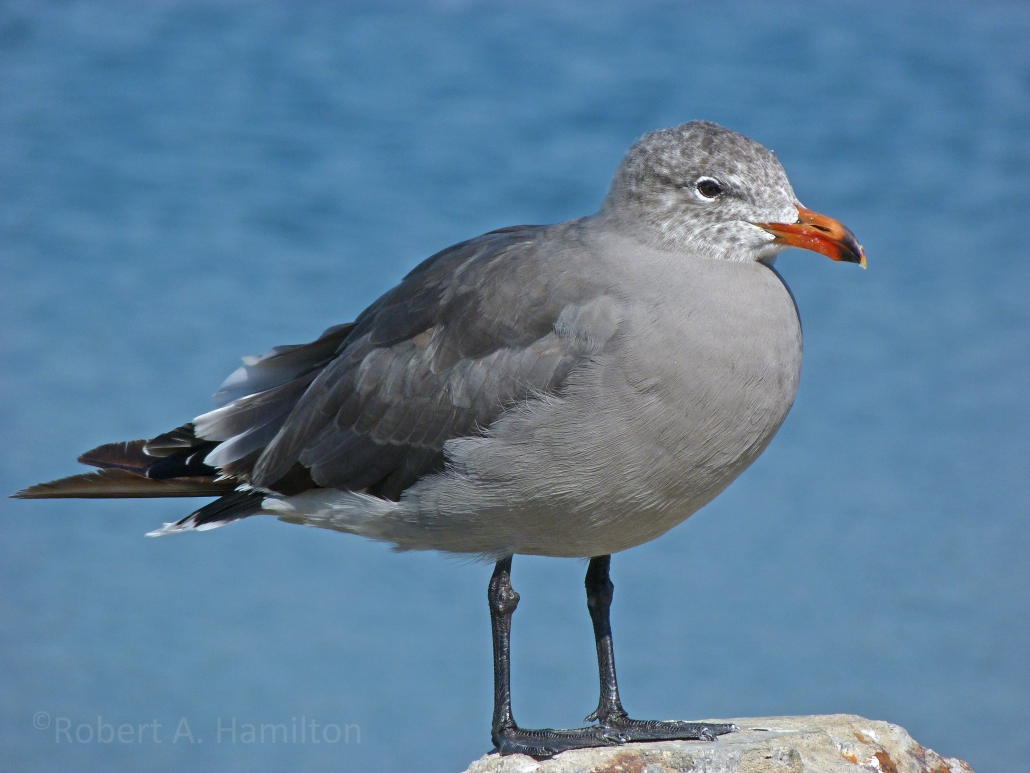 Heermann's Gull, Colorado Lagoon, Long Beach CA