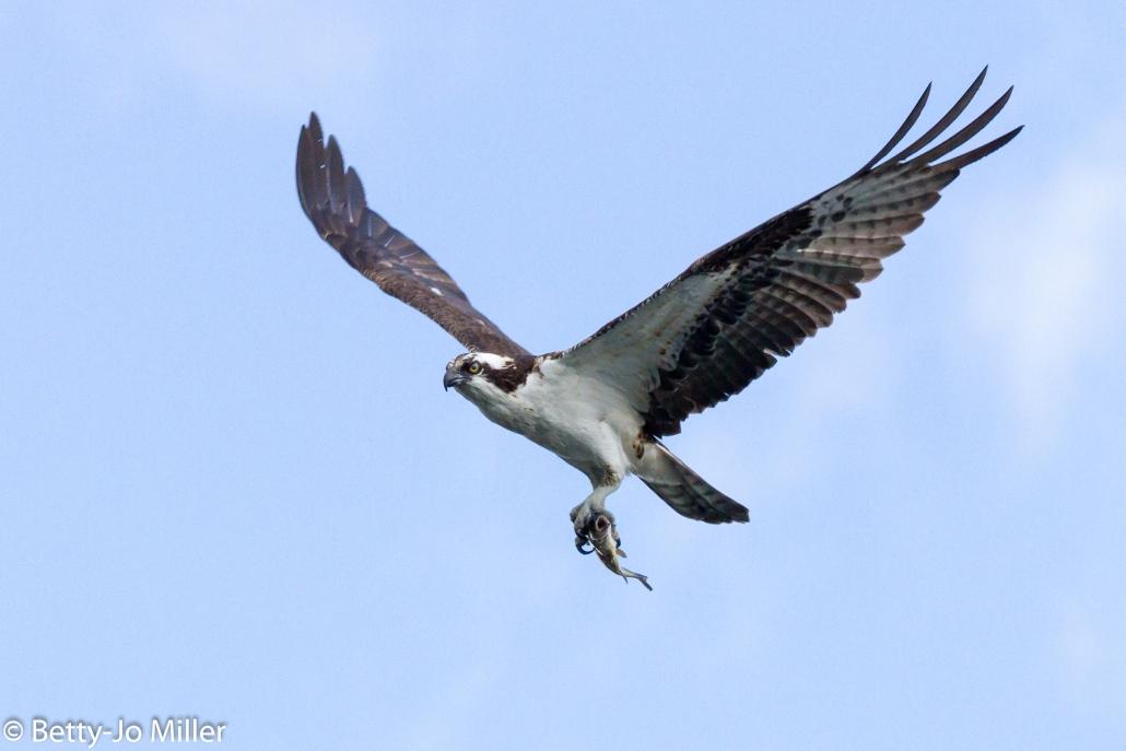 Osprey, El Dorado East Regional Park, Long Beach CA